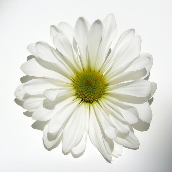 White Daisy-Gail Peck-Photographic Print