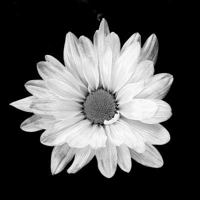 White Daisy-Gail Peck-Photographic Print