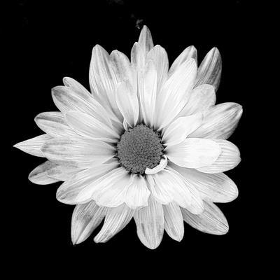 https://imgc.artprintimages.com/img/print/white-daisy_u-l-q10wa240.jpg?p=0