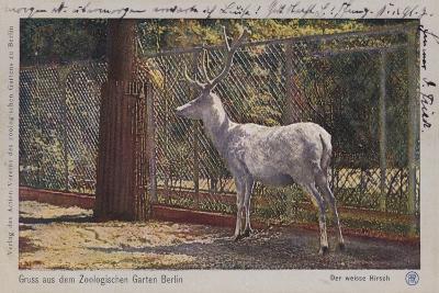White Deer in the Zoo in Berlin--Giclee Print
