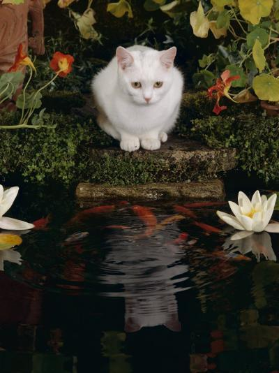 White Domestic Cat Watching Goldfish in Garden Pond-Jane Burton-Photographic Print