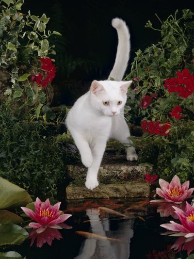White Domestic Cat Watching Goldfish in Garden Pond-Jane Burton-Photographic Print