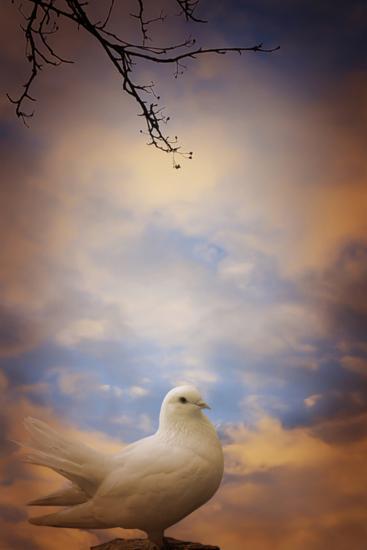 White Dove-Svetlana Sewell-Photographic Print