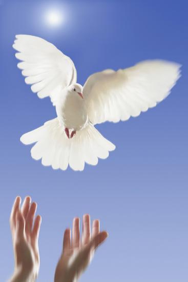 White Dove--Photographic Print