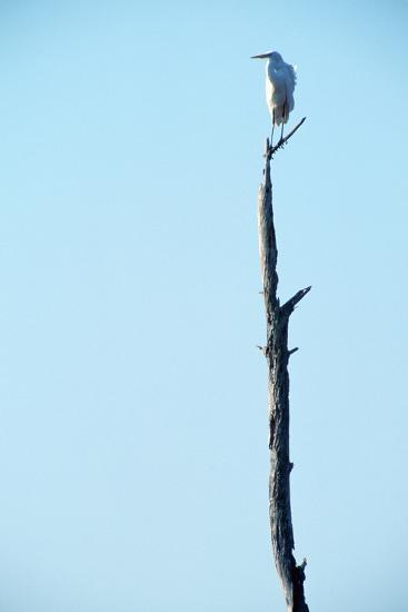 White Egret on Tall Snag-Paul Souders-Photographic Print