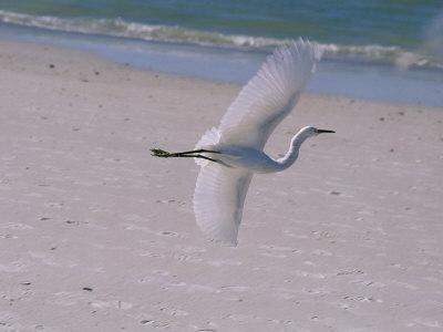 https://imgc.artprintimages.com/img/print/white-egret-taking-flight-over-a-florida-beach_u-l-p4s9u10.jpg?p=0