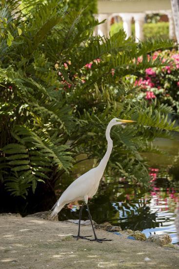 White Egret Tropical Bird, Bavaro, Higuey, Punta Cana, Dominican Republic-Lisa S^ Engelbrecht-Photographic Print