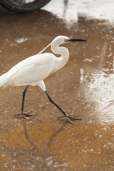 White Egret Walks around the Old Port of Casablanca-Richard Nowitz-Photographic Print