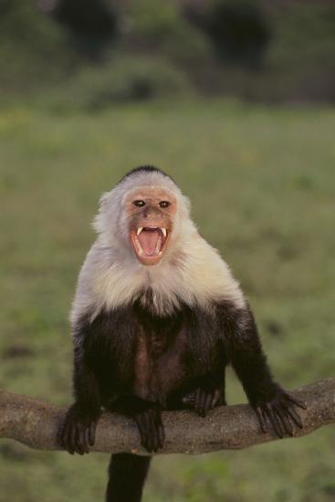 White-Faced Capuchin Baring Teeth-DLILLC-Photographic Print