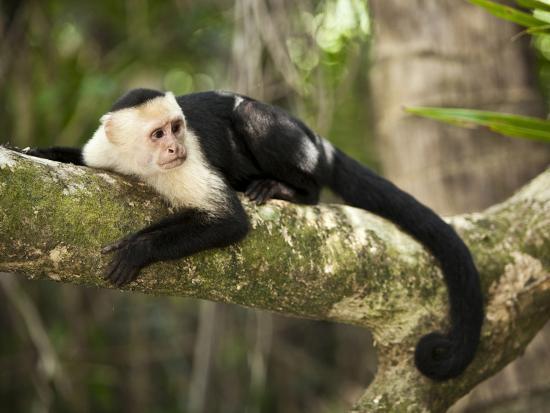 White Faced Capuchin (Cebus Capucinus), Manuel Antonio National Park, Costa Rica-Paul Souders-Photographic Print
