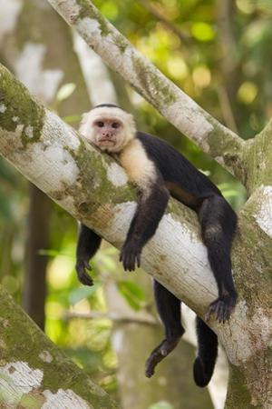 White-Faced Capuchin , Costa Rica