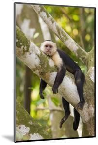 White-Faced Capuchin , Costa Rica