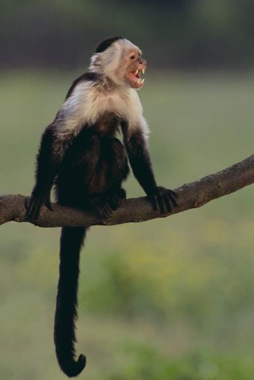 White-Faced Capuchin-DLILLC-Photographic Print