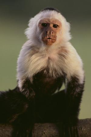https://imgc.artprintimages.com/img/print/white-faced-capuchin_u-l-pzrkiv0.jpg?p=0