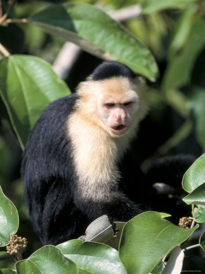 White Faced Capuchine Monkey (Cebus Capucinus), Soberania National Park, Gamboa, Panama-Sergio Pitamitz-Photographic Print