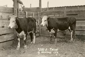 White-Faced Hereford Steer Twins