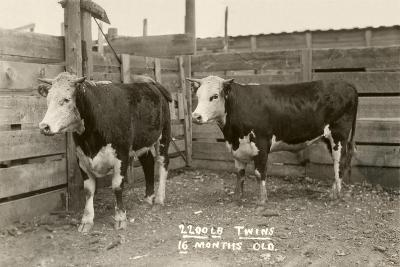White-Faced Hereford Steer Twins--Art Print