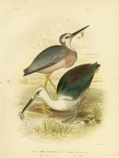 White-Faced Heron, 1891-Gracius Broinowski-Giclee Print