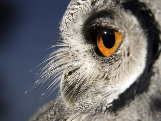 White-faced Scops Owl Eye-Linda Wright-Photographic Print
