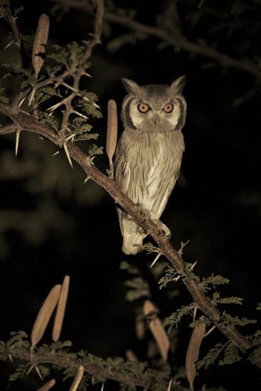 White Faced Scops Owl (Otus Leucotis) in a Candle-Pod Acacia (Acacia Hebeclada) at Night-Christophe Courteau-Photographic Print