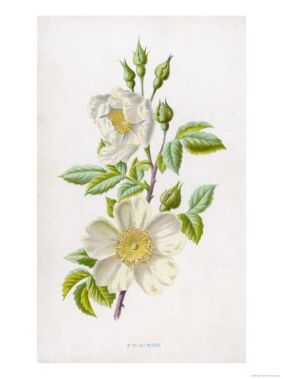 White Field Rose--Giclee Print