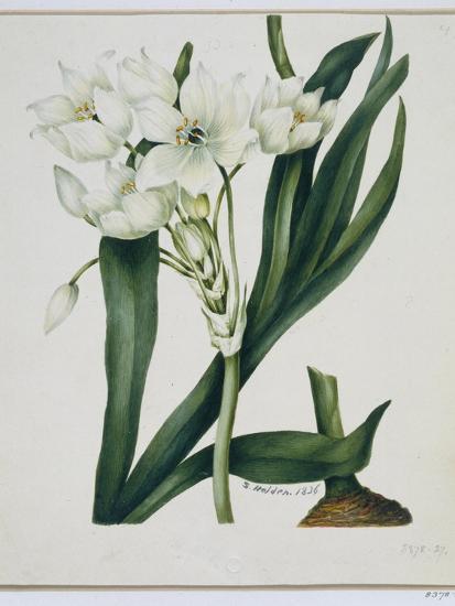 White Flowers with Long Dark Green Leaves-Samuel Holden-Giclee Print