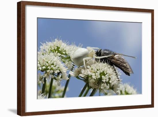 White Form Of Goldenrod Crab Spider (Misumenia Vatia) Camouflaged-Nick Upton-Framed Photographic Print