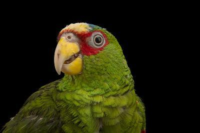 White Fronted Amazon, Amazona Albifrons Nana, from a Private Collection-Joel Sartore-Photographic Print