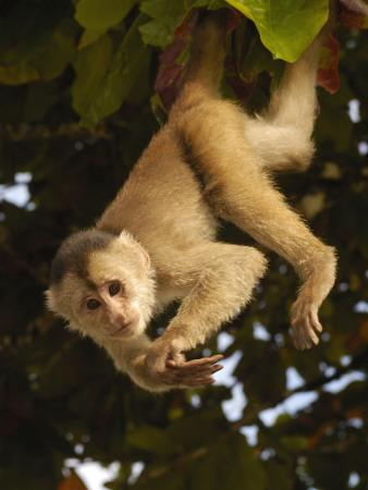 White Fronted Capuchin Monkey Hanging From A Tree Puerto