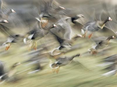 White Fronted Geese, Taking off from Field, Europe-Dietmar Nill-Photographic Print