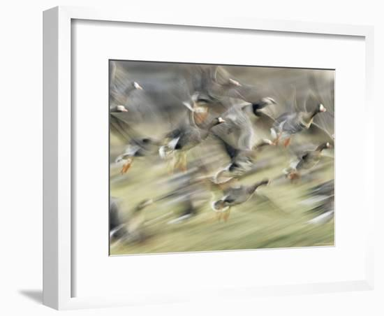 White Fronted Geese, Taking off from Field, Europe-Dietmar Nill-Framed Photographic Print