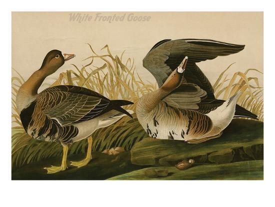 White Fronted Goose-John James Audubon-Art Print