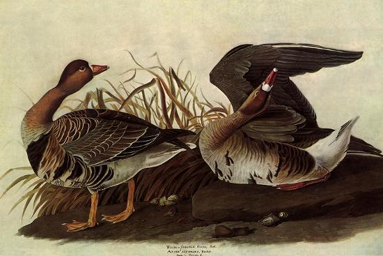 White-Fronted Goose-John James Audubon-Giclee Print