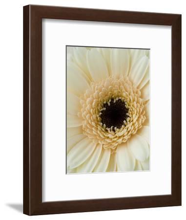 White Gerbera Daisy-Clive Nichols-Framed Photographic Print