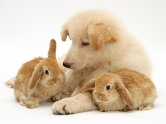 White German Shepherd Dog Puppy With Sandy Lop Baby Rabbits Photographic Print Jane Burton Art Com