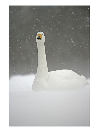 White Goose During Snow Fall--Art Print