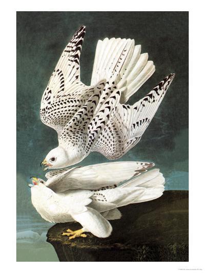 White Gyrfalcon-John James Audubon-Art Print