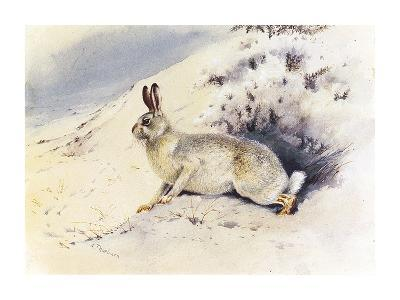 White Hare-Archibald Thorburn-Premium Giclee Print