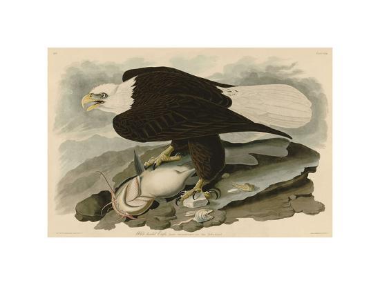White-Headed Eagle-John James Audubon-Giclee Print