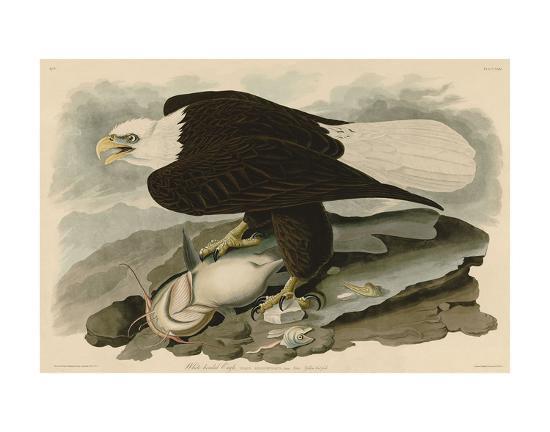 White-Headed Eagle-John James Audubon-Art Print