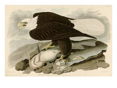 https://imgc.artprintimages.com/img/print/white-headed-eagle_u-l-pf4spu0.jpg?artPerspective=n