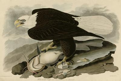 White Headed Eagle--Giclee Print