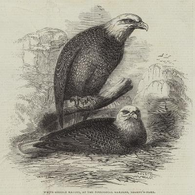 White-Headed Eagles, at the Zoological Gardens, Regent's Park--Giclee Print