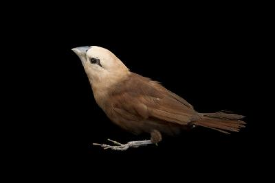 White Headed Munia, Lonchura Maja, from a Private Collection-Joel Sartore-Photographic Print