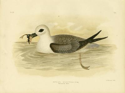 White-Headed Petrel, 1891-Gracius Broinowski-Giclee Print