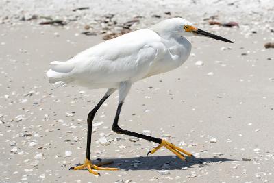 White Heron - Florida-Philippe Hugonnard-Photographic Print