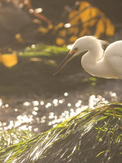 White Heron in the Sunlight and Seaside Grass at Carmel, California-Phil Schermeister-Photographic Print