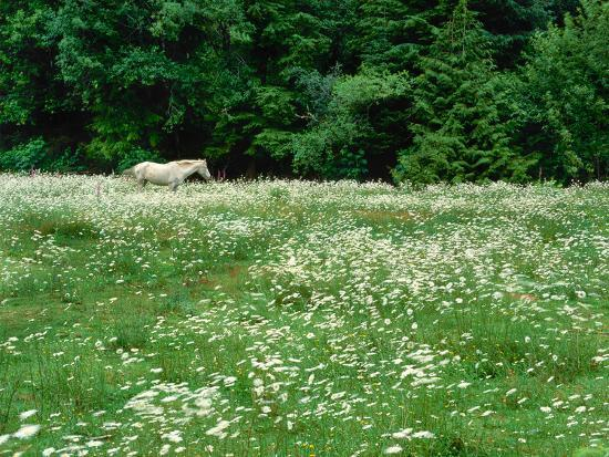 White Horse in a field of white daisies, near Seaside, Clatsop County, Northern Coast, Oregon, USA--Photographic Print