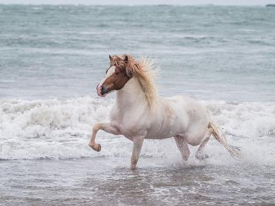 White Horse Running On The Beach Iceland Photographic Print By