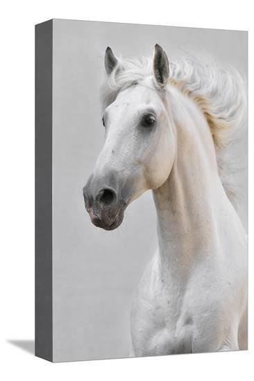 White Horse Stallion--Stretched Canvas Print